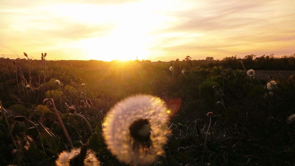 Field of seeds and flowers sunset Heartspace Meditation